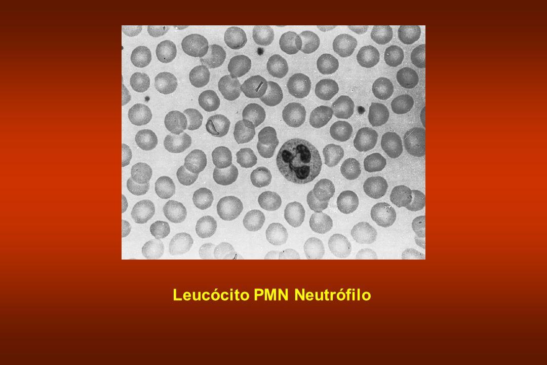 Leucócito PMN Neutrófilo