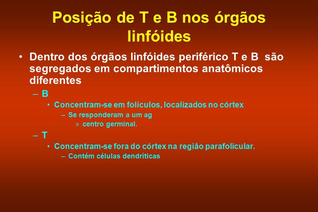 Posição de T e B nos órgãos linfóides