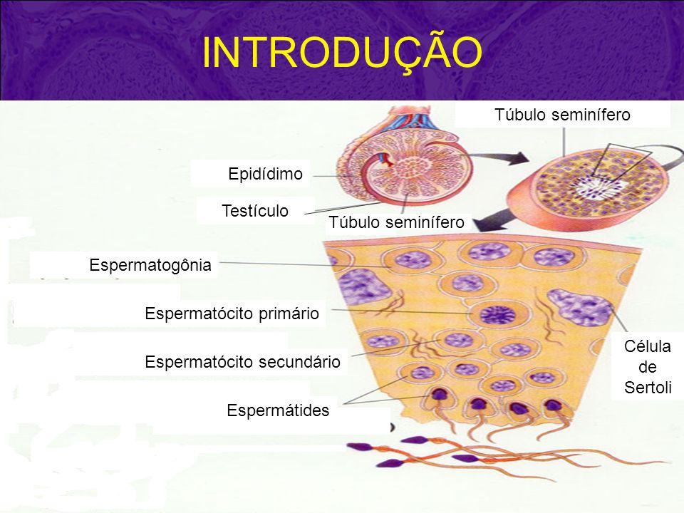 INTRODUÇÃO Túbulo seminífero Epidídimo Testículo Túbulo seminífero