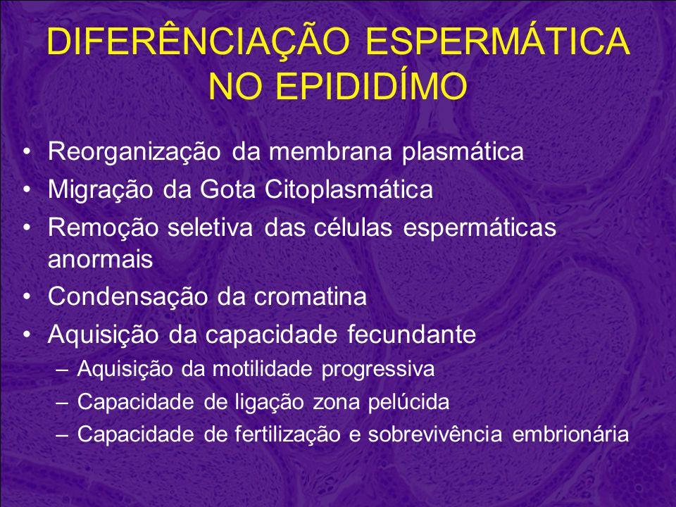 DIFERÊNCIAÇÃO ESPERMÁTICA NO EPIDIDÍMO