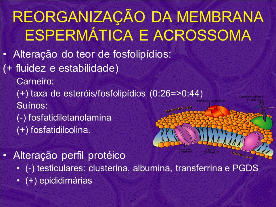 REORGANIZAÇÃO DA MEMBRANA ESPERMÁTICA E ACROSSOMA