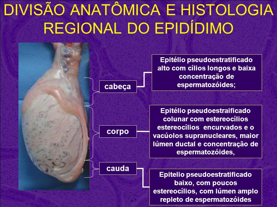 DIVISÃO ANATÔMICA E HISTOLOGIA REGIONAL DO EPIDÍDIMO