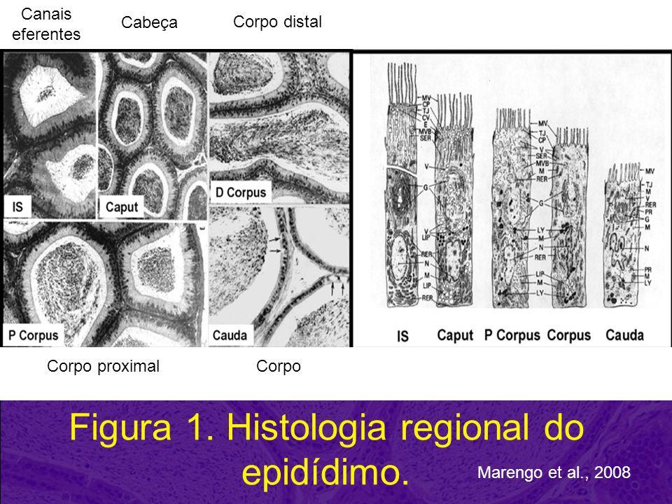 Figura 1. Histologia regional do epidídimo.