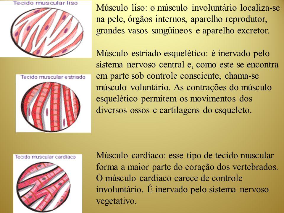 Músculo liso: o músculo involuntário localiza-se na pele, órgãos internos, aparelho reprodutor, grandes vasos sangüíneos e aparelho excretor.