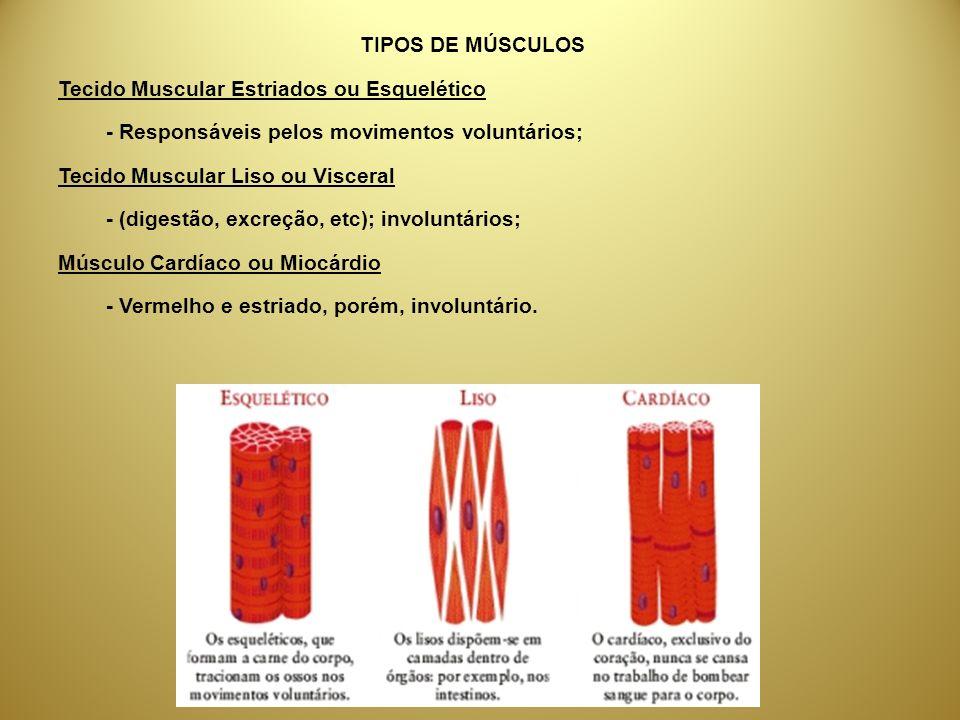 TIPOS DE MÚSCULOSTecido Muscular Estriados ou Esquelético. - Responsáveis pelos movimentos voluntários;
