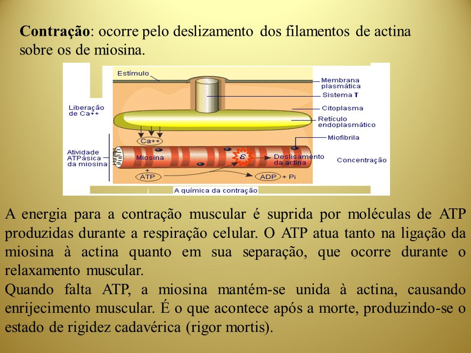 Contração: ocorre pelo deslizamento dos filamentos de actina sobre os de miosina.