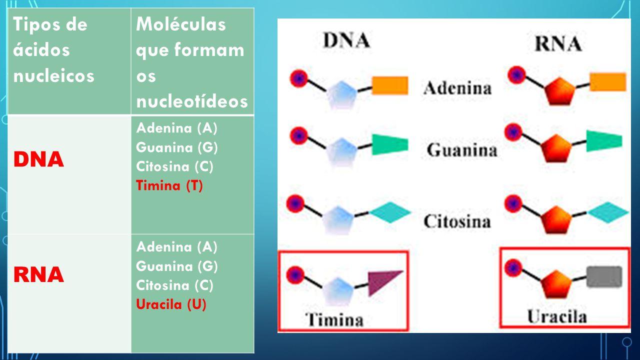 Tipos de ácidos nucleicos Moléculas que formam os nucleotídeos