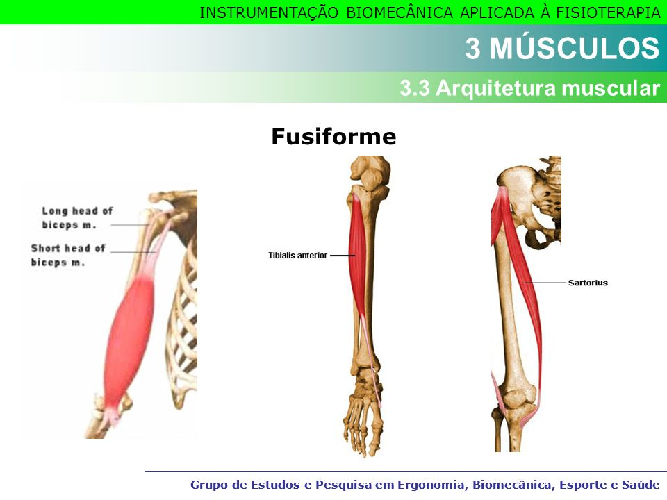 3 MÚSCULOS 3.3 Arquitetura muscular Fusiforme