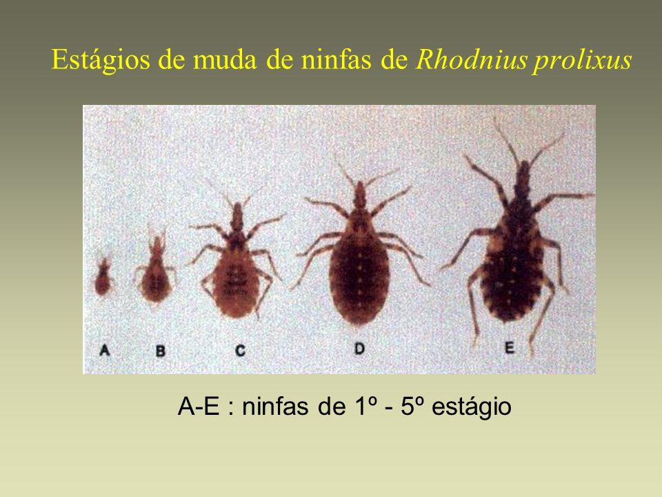 Estágios de muda de ninfas de Rhodnius prolixus
