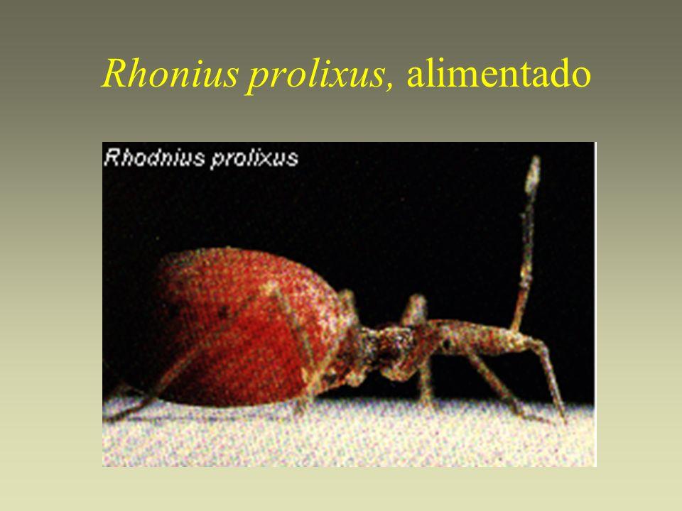 Rhonius prolixus, alimentado