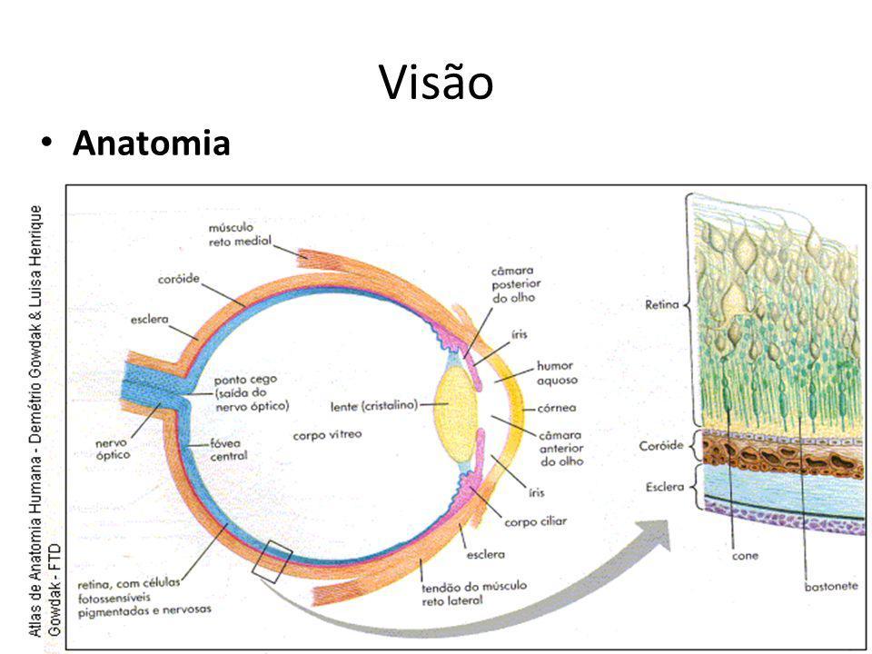 Visão Anatomia