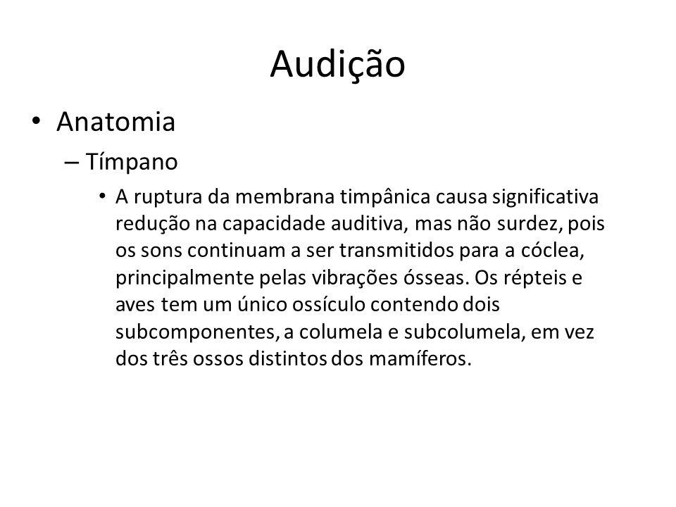 Audição Anatomia Tímpano