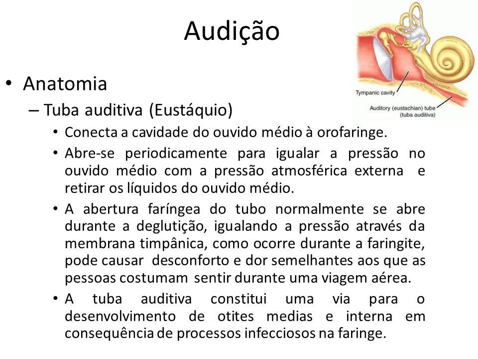 Audição Anatomia Tuba auditiva (Eustáquio)