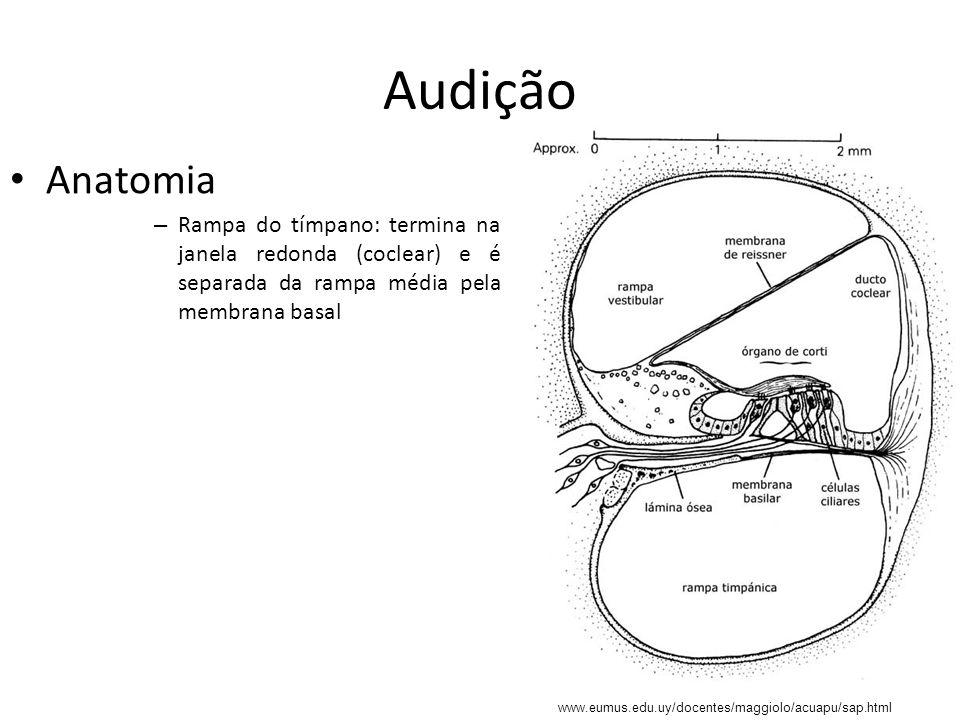 Audição Anatomia. Rampa do tímpano: termina na janela redonda (coclear) e é separada da rampa média pela membrana basal.