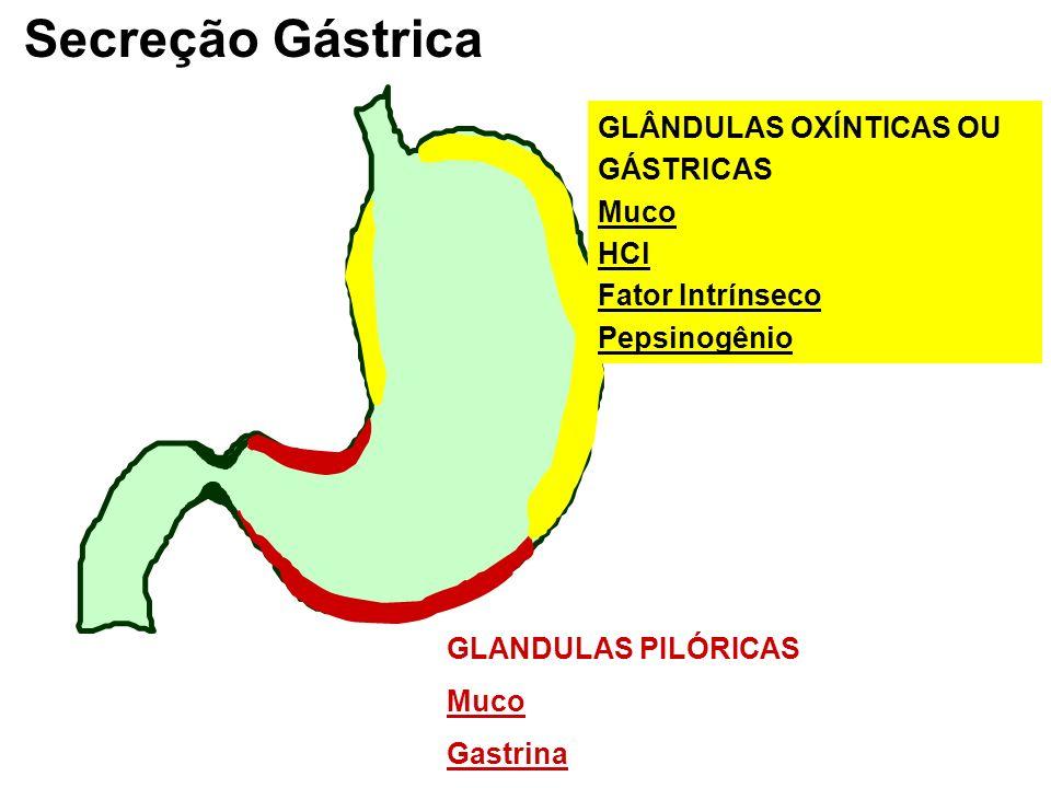 Secreção Gástrica GLÂNDULAS OXÍNTICAS OU GÁSTRICAS Muco HCl