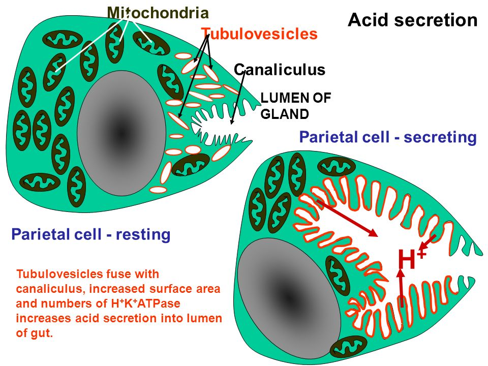 H+ Acid secretion Mitochondria Tubulovesicles Canaliculus