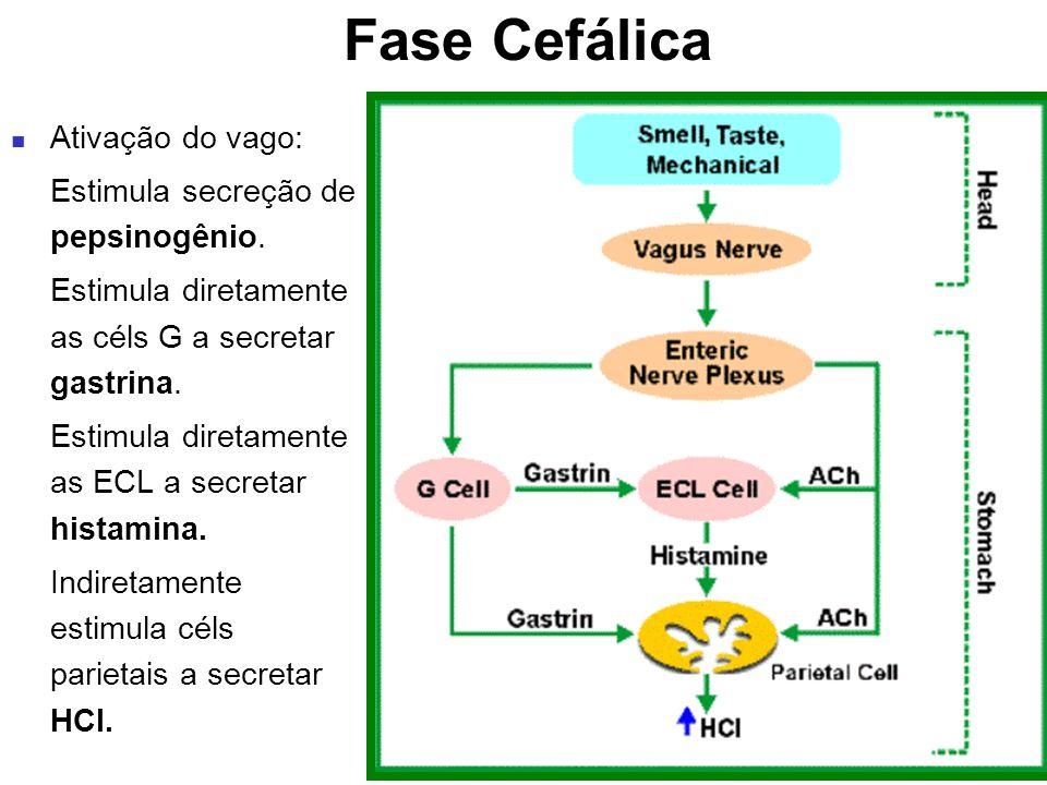Fase Cefálica Ativação do vago: Estimula secreção de pepsinogênio.