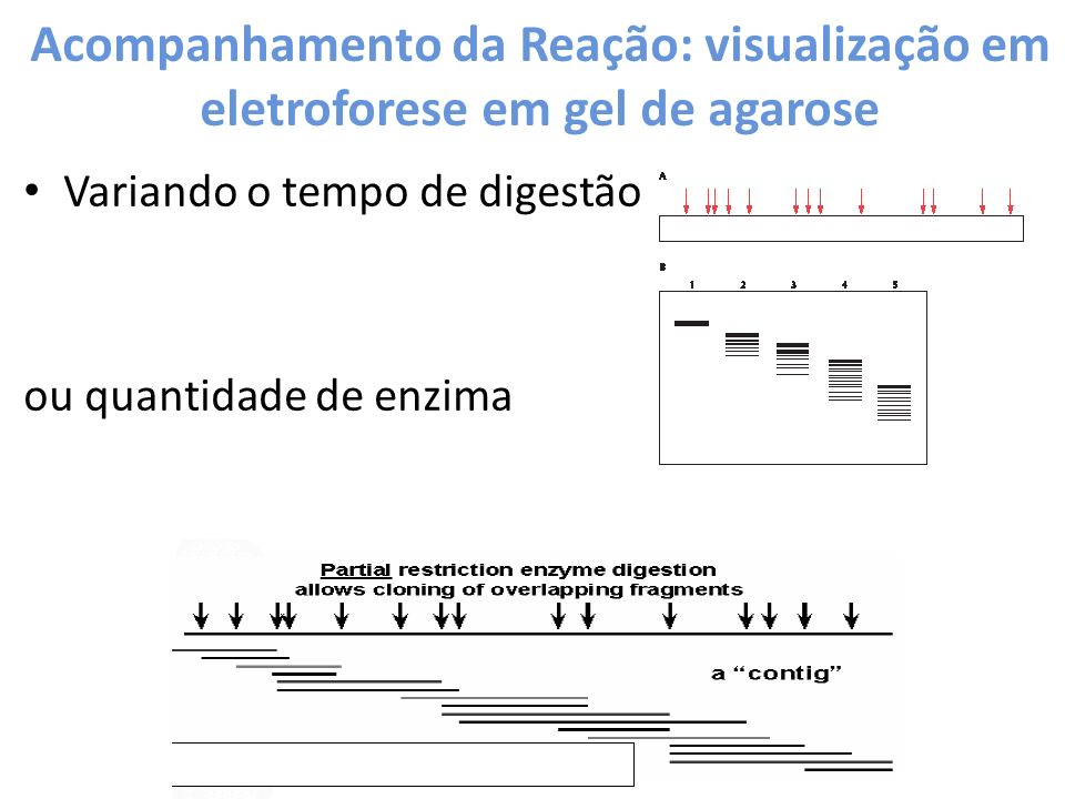 Acompanhamento da Reação: visualização em eletroforese em gel de agarose