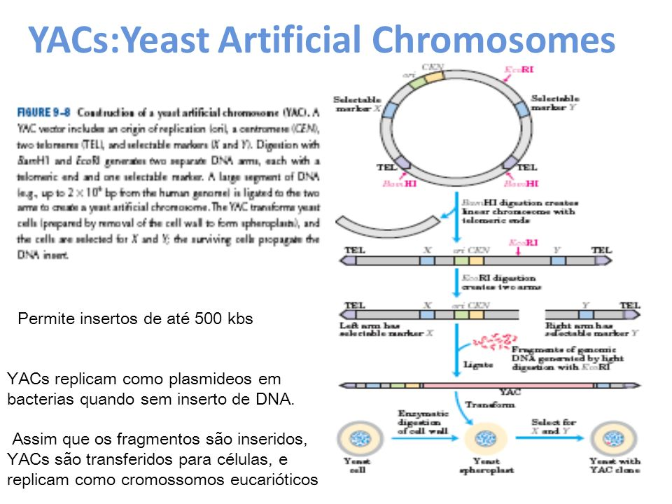 YACs:Yeast Artificial Chromosomes