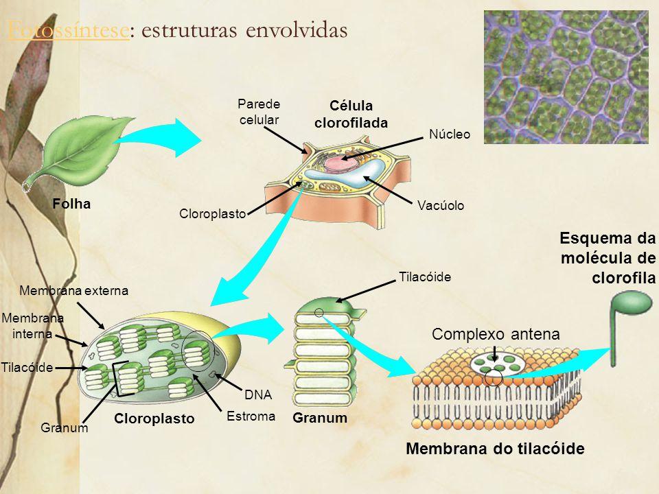 Fotossíntese: estruturas envolvidas