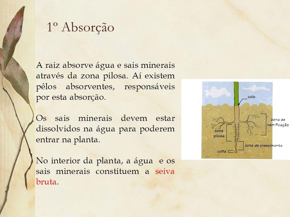 1º Absorção A raiz absorve água e sais minerais através da zona pilosa. Aí existem pêlos absorventes, responsáveis por esta absorção.