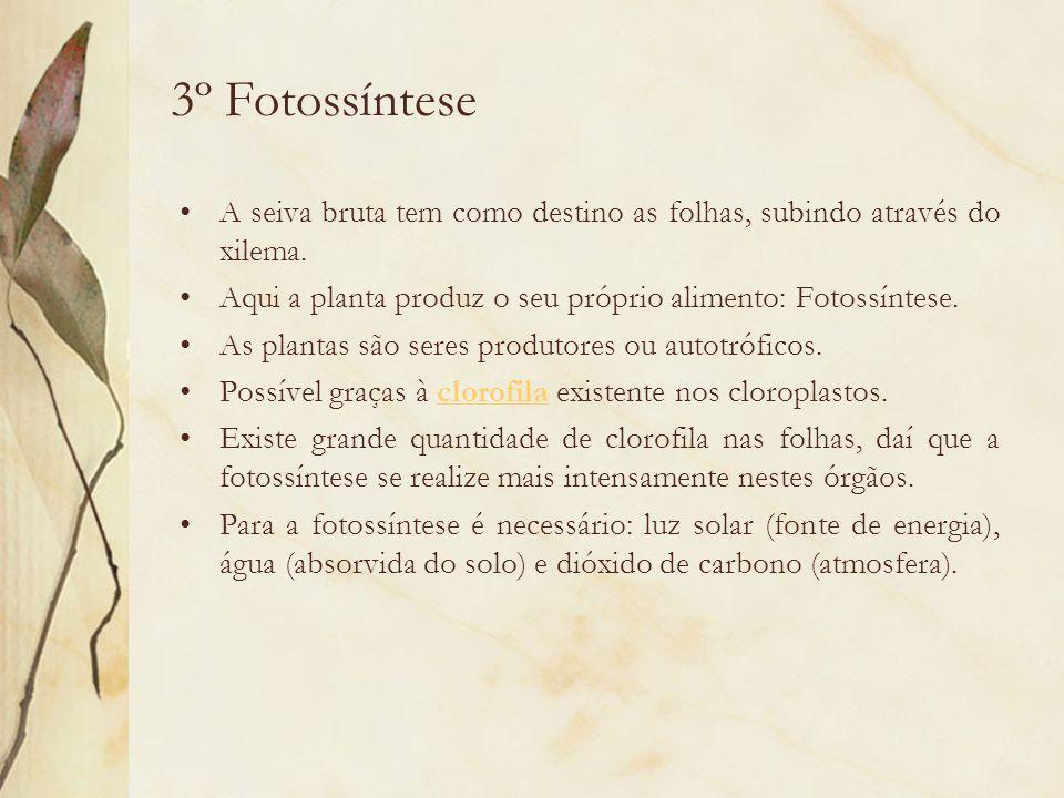 3º Fotossíntese A seiva bruta tem como destino as folhas, subindo através do xilema. Aqui a planta produz o seu próprio alimento: Fotossíntese.
