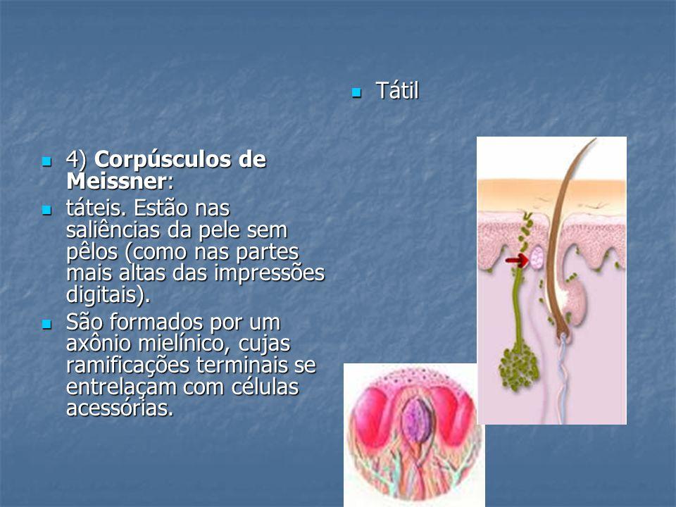 Tátil 4) Corpúsculos de Meissner: táteis. Estão nas saliências da pele sem pêlos (como nas partes mais altas das impressões digitais).