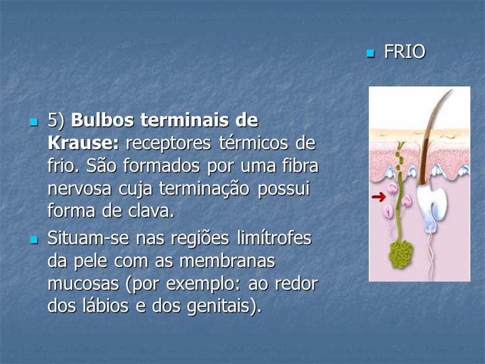 FRIO 5) Bulbos terminais de Krause: receptores térmicos de frio. São formados por uma fibra nervosa cuja terminação possui forma de clava.