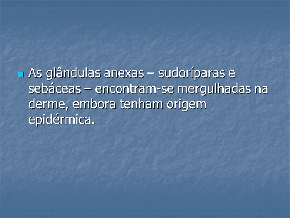 As glândulas anexas – sudoríparas e sebáceas – encontram-se mergulhadas na derme, embora tenham origem epidérmica.