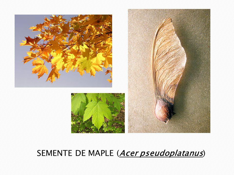 SEMENTE DE MAPLE (Acer pseudoplatanus)