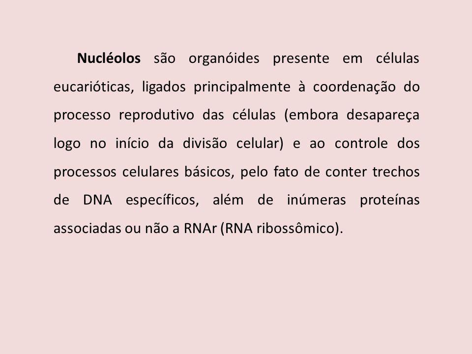 Nucléolos são organóides presente em células eucarióticas, ligados principalmente à coordenação do processo reprodutivo das células (embora desapareça logo no início da divisão celular) e ao controle dos processos celulares básicos, pelo fato de conter trechos de DNA específicos, além de inúmeras proteínas associadas ou não a RNAr (RNA ribossômico).