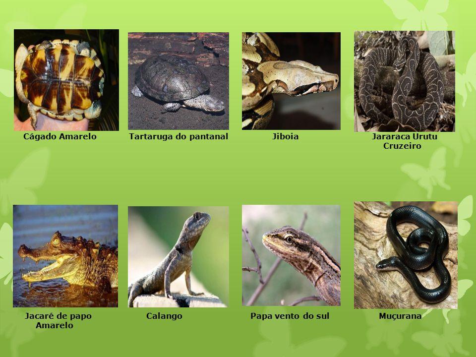 Cágado Amarelo Tartaruga do pantanal Jiboia Jararaca Urutu