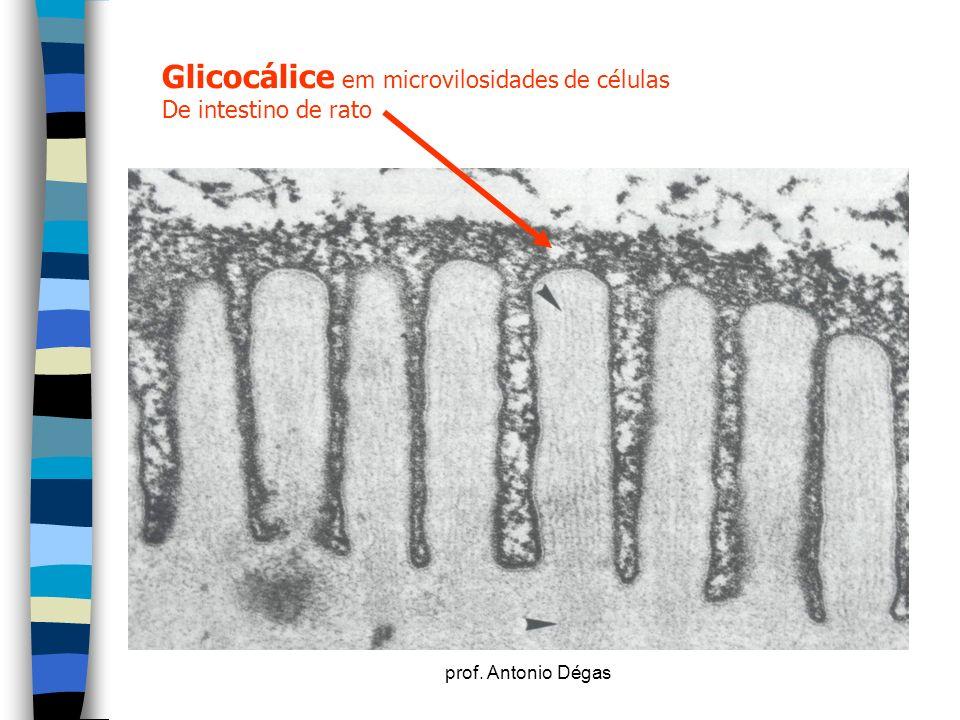 Glicocálice em microvilosidades de células