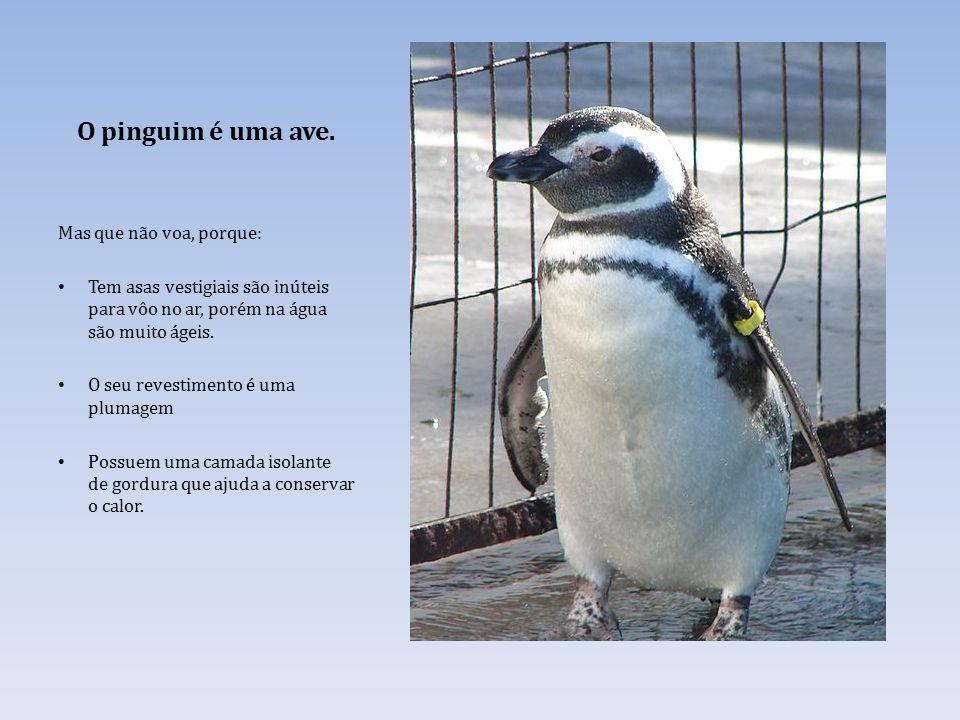 O pinguim é uma ave. Mas que não voa, porque: