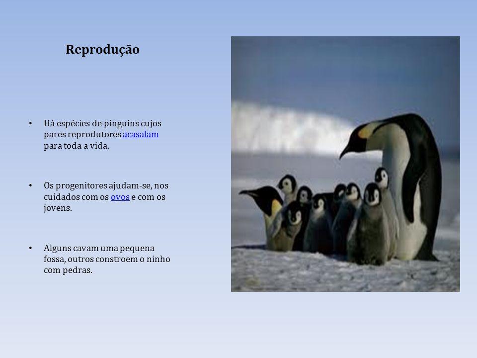 Reprodução Há espécies de pinguins cujos pares reprodutores acasalam para toda a vida.