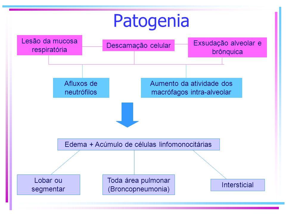 Patogenia Lesão da mucosa respiratória. Exsudação alveolar e brônquica. Descamação celular.