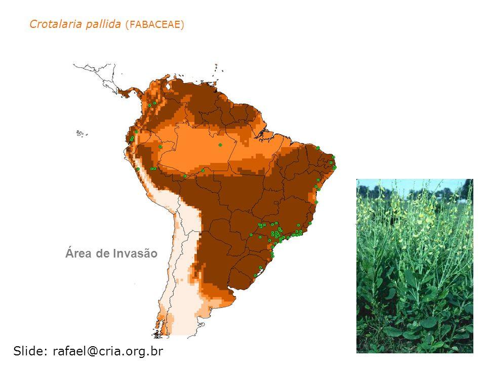 Crotalaria pallida (FABACEAE)