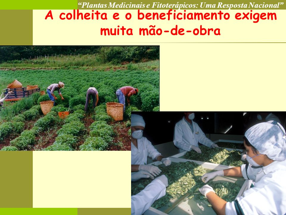 A colheita e o beneficiamento exigem muita mão-de-obra