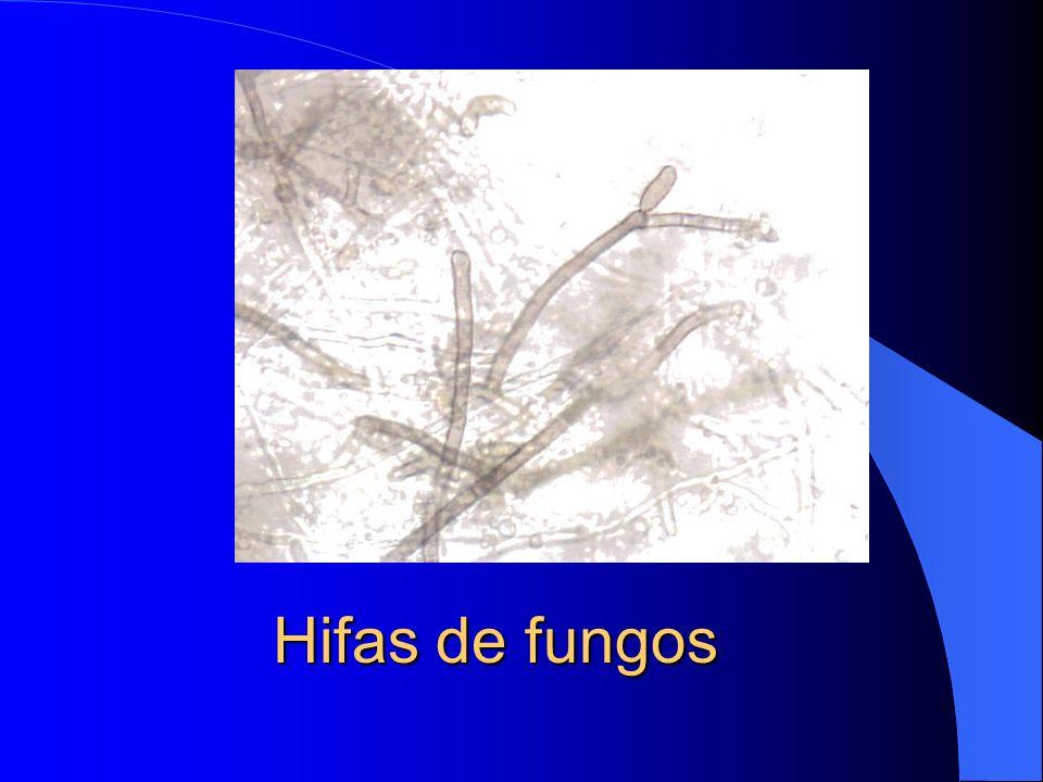 Hifas de fungos