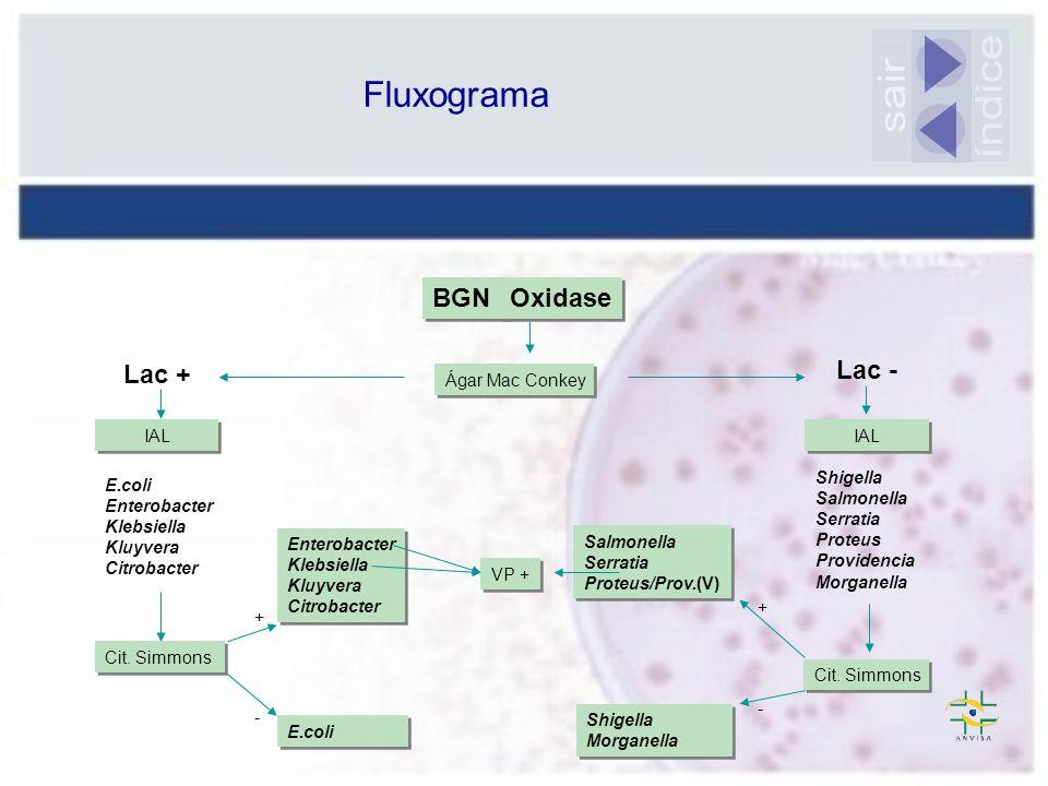 índice sair Fluxograma BGN Oxidase Lac + Lac - Ágar Mac Conkey IAL IAL