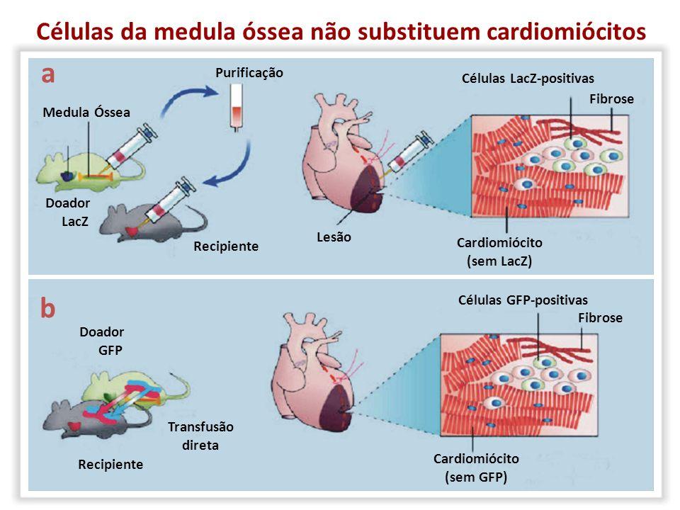 a b Células da medula óssea não substituem cardiomiócitos Purificação