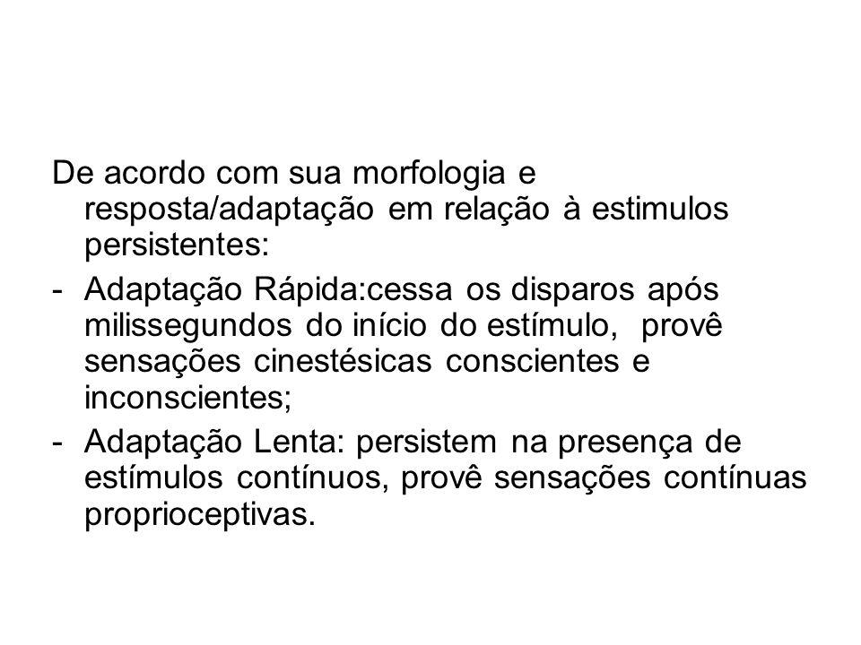 De acordo com sua morfologia e resposta/adaptação em relação à estimulos persistentes: