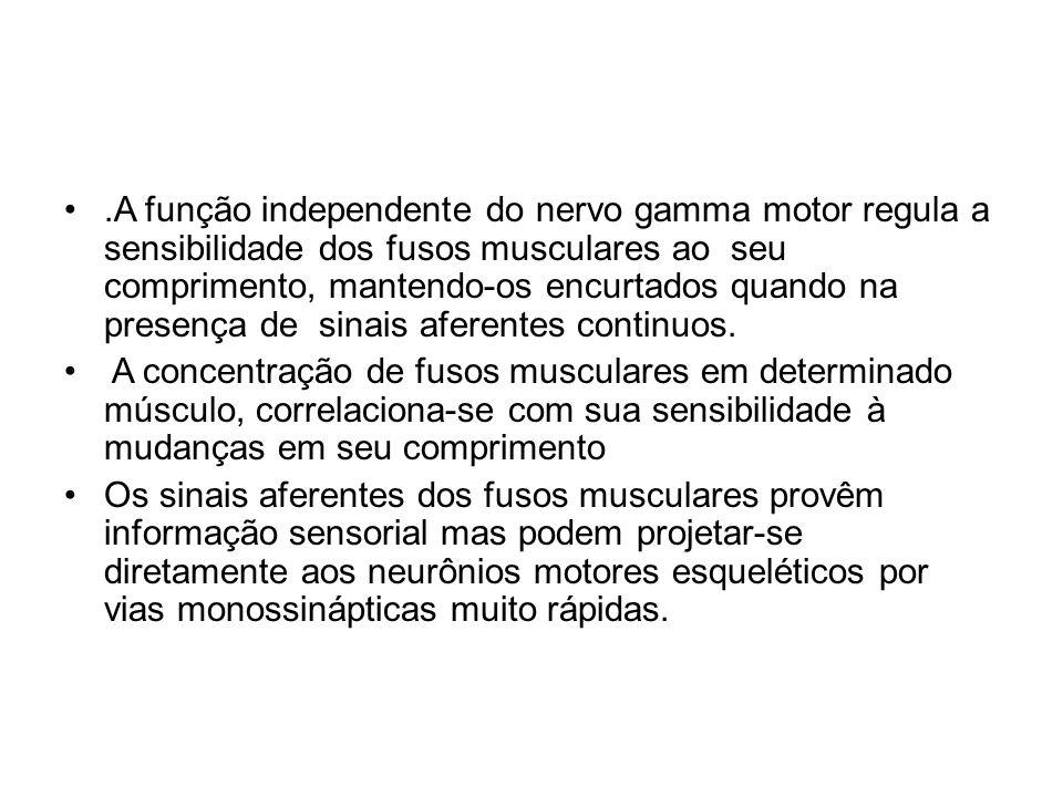 .A função independente do nervo gamma motor regula a sensibilidade dos fusos musculares ao seu comprimento, mantendo-os encurtados quando na presença de sinais aferentes continuos.