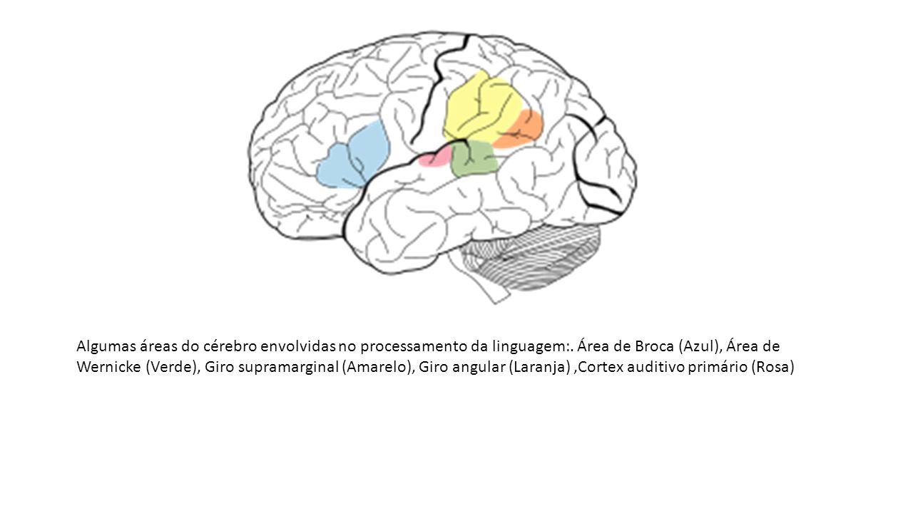 Algumas áreas do cérebro envolvidas no processamento da linguagem: