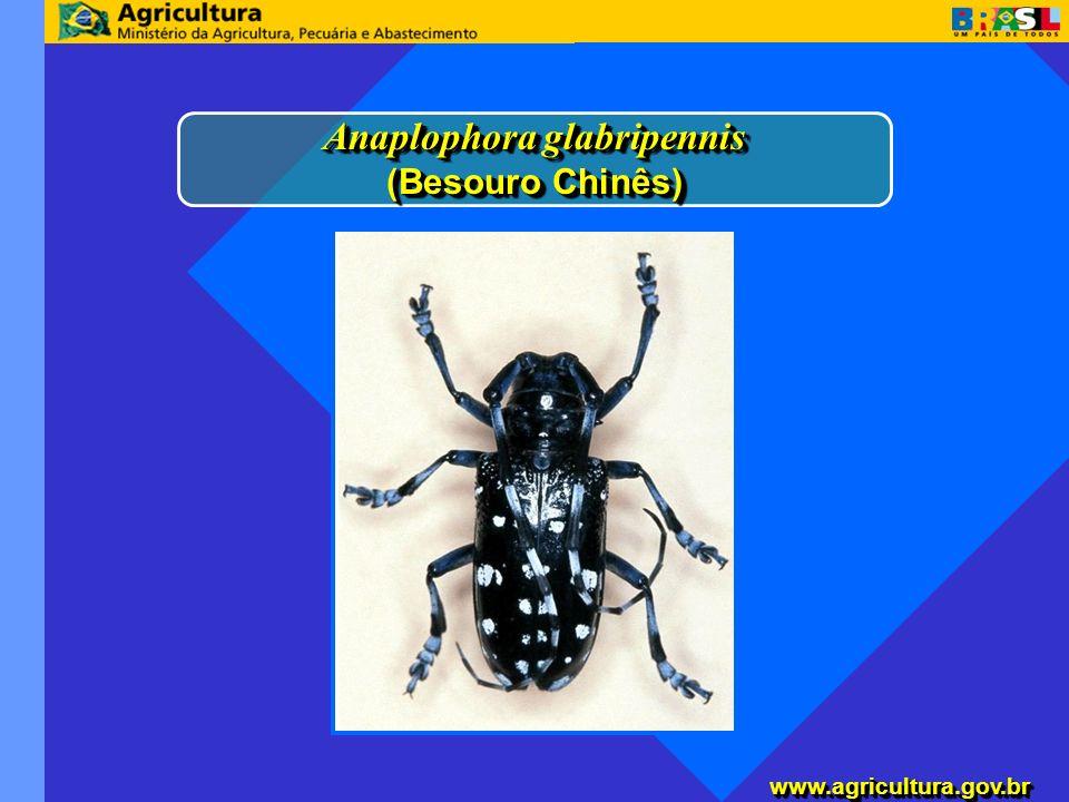 Anaplophora glabripennis