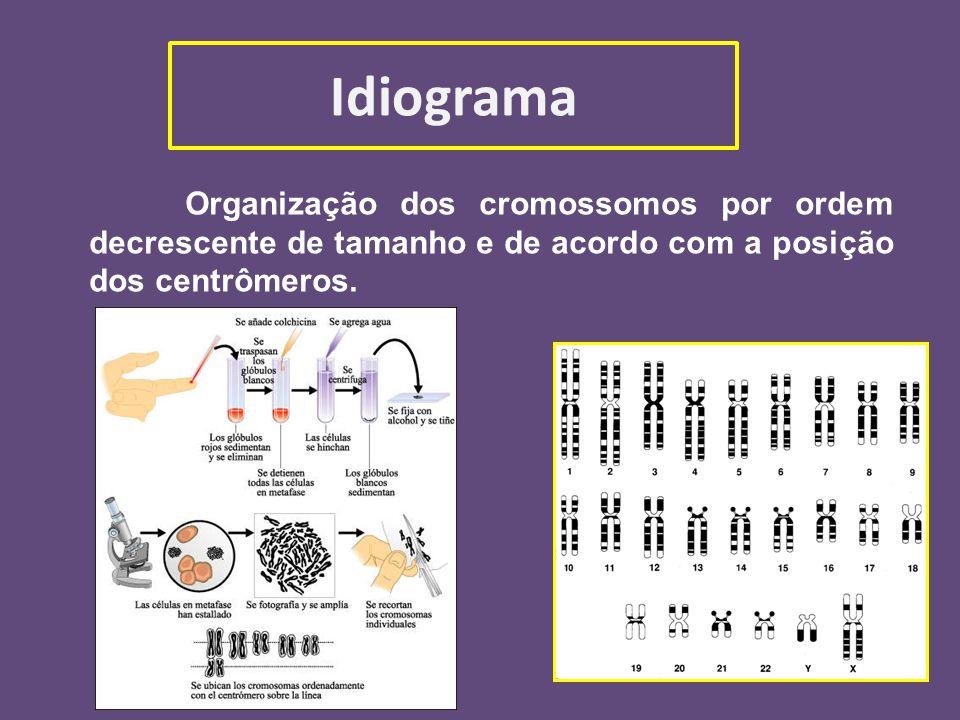 Idiograma Organização dos cromossomos por ordem decrescente de tamanho e de acordo com a posição dos centrômeros.