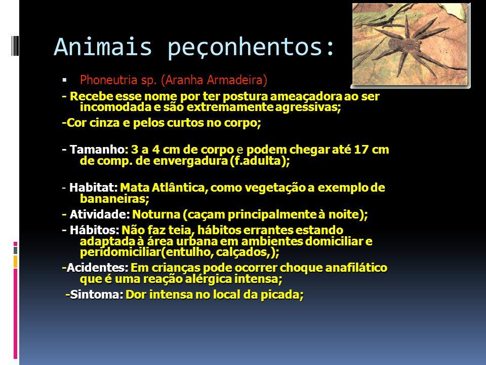 Animais peçonhentos: Phoneutria sp. (Aranha Armadeira)