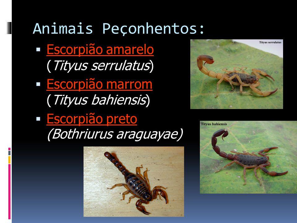 Animais Peçonhentos: Escorpião amarelo (Tityus serrulatus)
