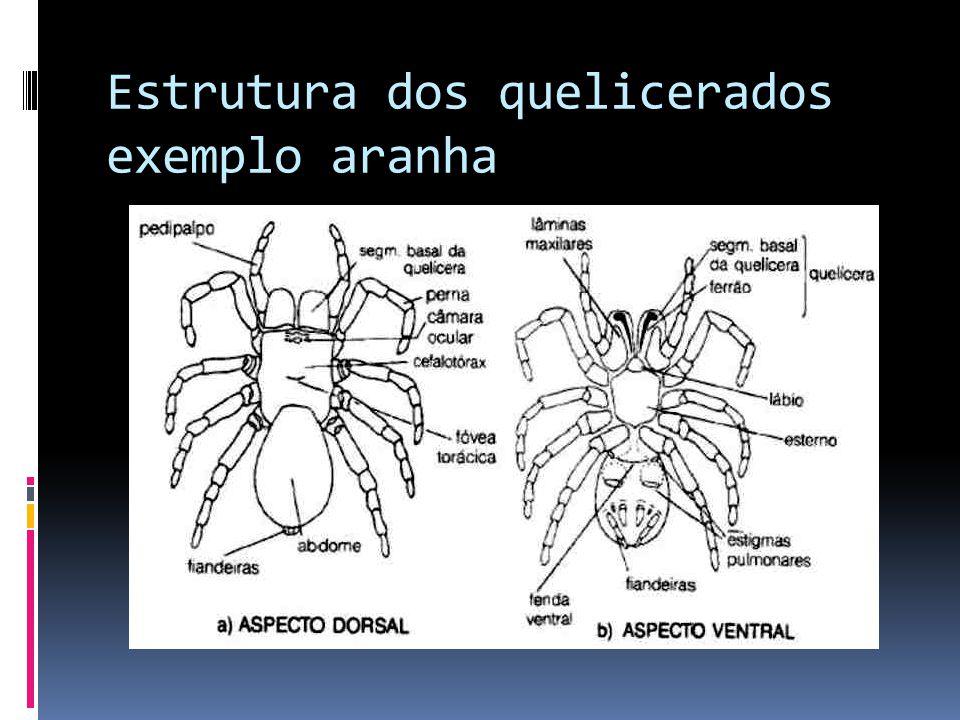 Estrutura dos quelicerados exemplo aranha