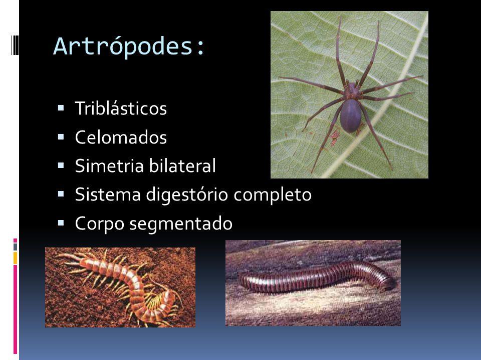 Artrópodes: Triblásticos Celomados Simetria bilateral